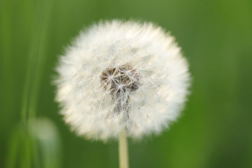 Make a wish Dandelion Plant Fragility Flower Close-up Flowering Plant Vulnerability  Freshness Beauty In Nature Inflorescence Flower Head Focus On Foreground Nature White Color Growth Wildflower No People Softness Outdoors Uncultivated