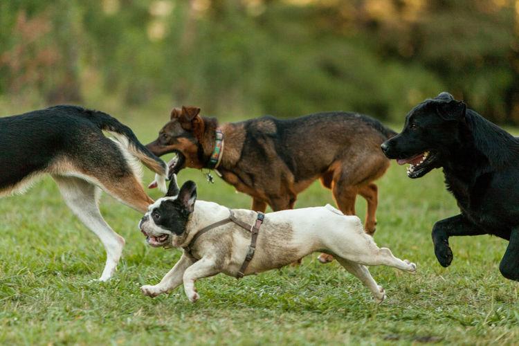 Dogs running on grass