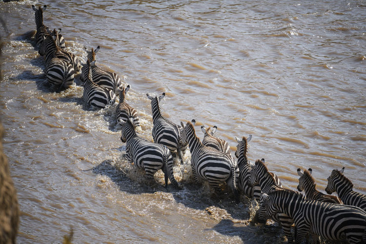 High angle view of zebras drinking water
