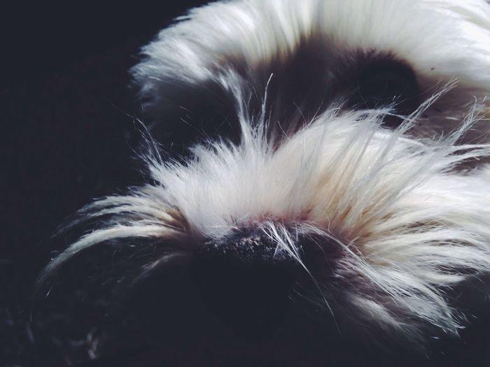 Westie Doggy