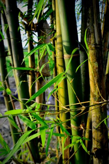 Close-up of bamboo plants in forest