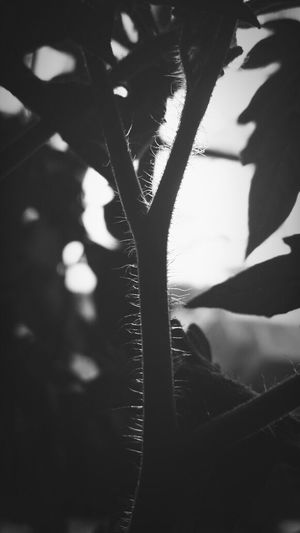 Tomatoe Black & White FUZZ EyeEm Nature Lover