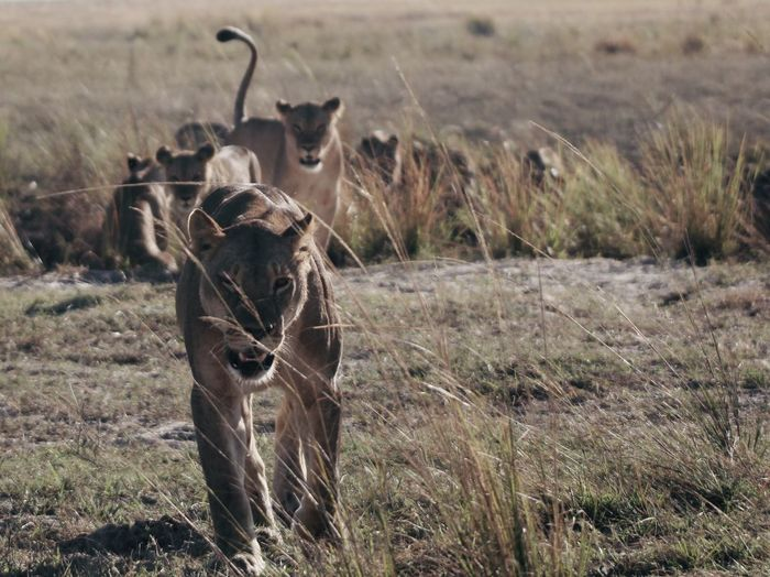 Lion Lion Travel Experience Safari Animals Lions Okavango River Field Land Mammal Animal Animal Themes Plant Vertebrate Animals In The Wild Animal Wildlife Grass Nature Feline Lioness