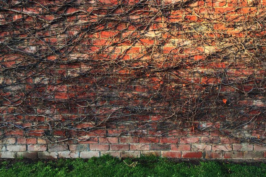 Brick Bricks Wall Brick Wall Texture Pattern Plant Foliage Creeper Plant Morning Light Light And Shadow Overgrown