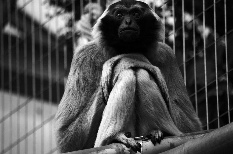 Beautiful poser! EyeEm Best Shots EyeEm Nature Lover EyeEmNewHere Animal Themes Animal Wildlife Animals In Captivity Animals In The Wild Ape Black And White Blackandwhite Cage Chimpanzee Close-up Day Gorilla Mammal Monkey Nature No People One Animal Outdoors Portrait Primate Sitting Zoo