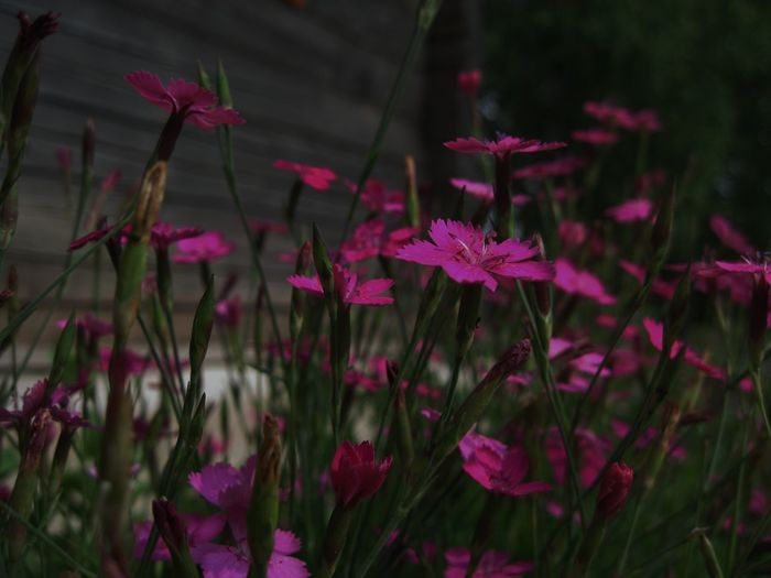 Beauty In Nature Day Field Flower Focus On Foreground Freshness Pink Pink Color Selective Focus