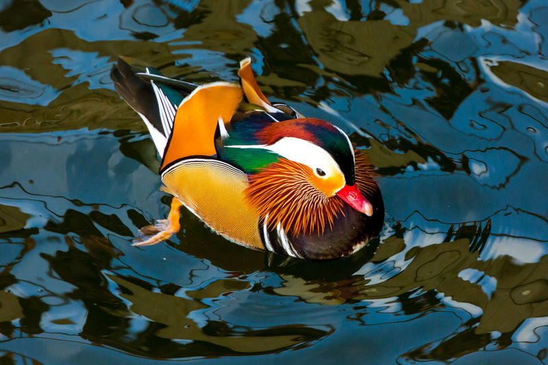 High Angle View Of Mandarin Duck Swimming On Pond
