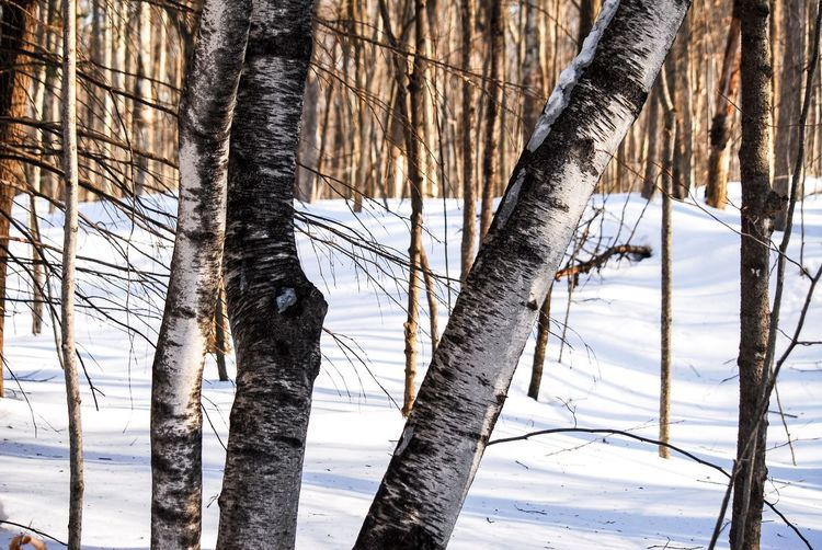 Walking in the woods Tree Trunk Tree Trunk Plant Winter Land Nature Snow Cold Temperature Beauty In Nature Tranquility No People Day Forest Branch Outdoors Focus On Foreground Growth Non-urban Scene