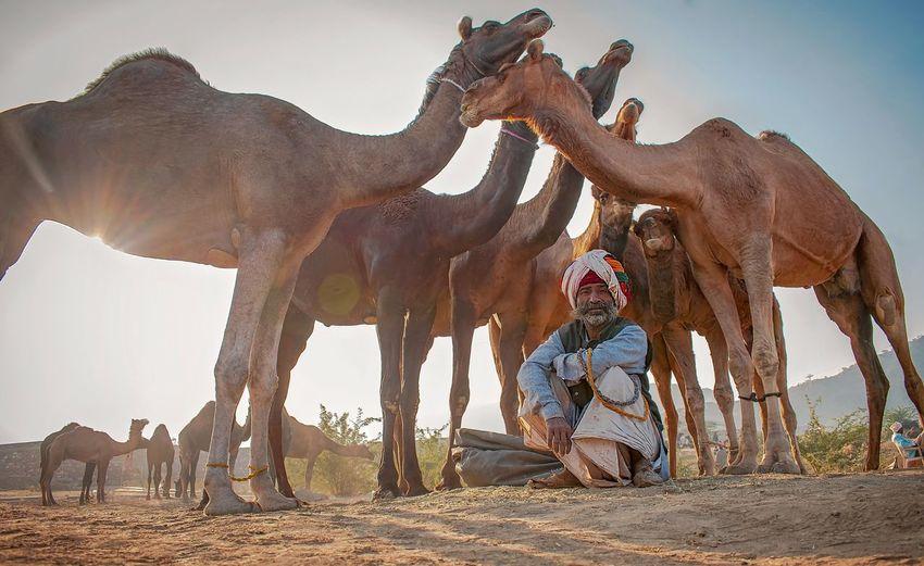 camel fair,