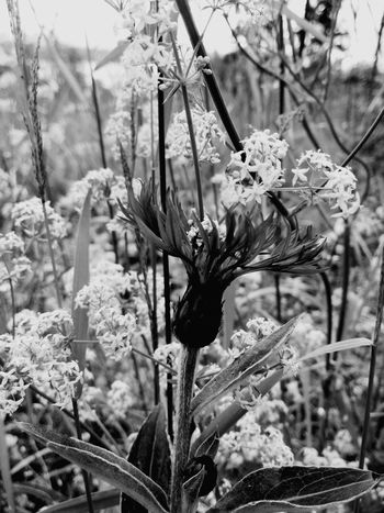 Flower Fragility Nature Petal Plant Close-up Blackandwhite Flower Head Meadowflowers EyeEmNewHere Perspectives On Nature