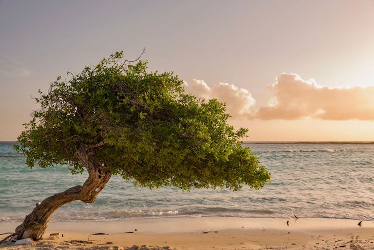 Tree on shore at beach against sky during sunset