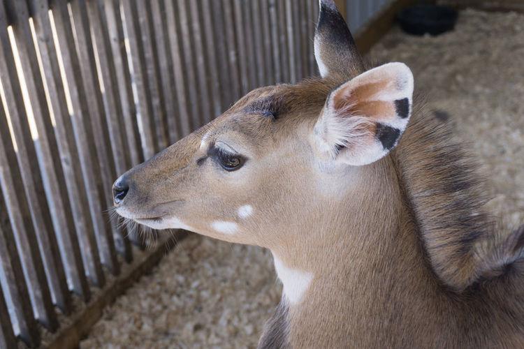 Animal Animal Themes Animal Wildlife Deer High Angle View Looking Mammal Pets