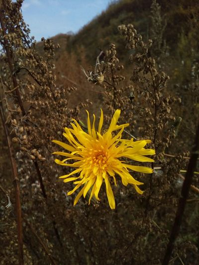 Little sun in the autumn grass Flower Yellow Nature Plant Close-up Flower Head Yellow Flower Yellow Color Outdoors Beauty In Nature Autumn October Sonchus Sow Thistle