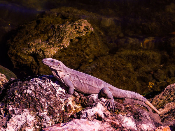 Animals In The Wild Campeche Iguana Mexico Travel Animals Champotón Fauna Lizard Nature One Animal Outdoors Reptile