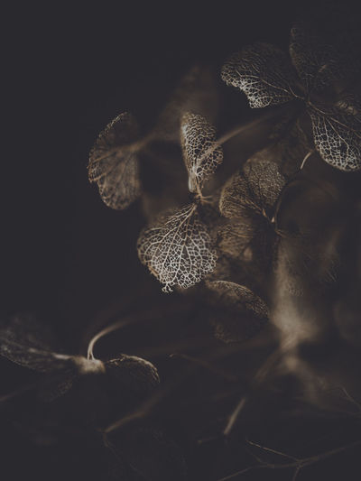 Dark and moody macro dead hydrangea skeleton Close-up No People Selective Focus Nature Beauty In Nature Plant Growth Leaf Plant Part Tranquility Day Outdoors Freshness Dry Food Flower Botany Fragility Studio Shot Black Background Wilted Plant