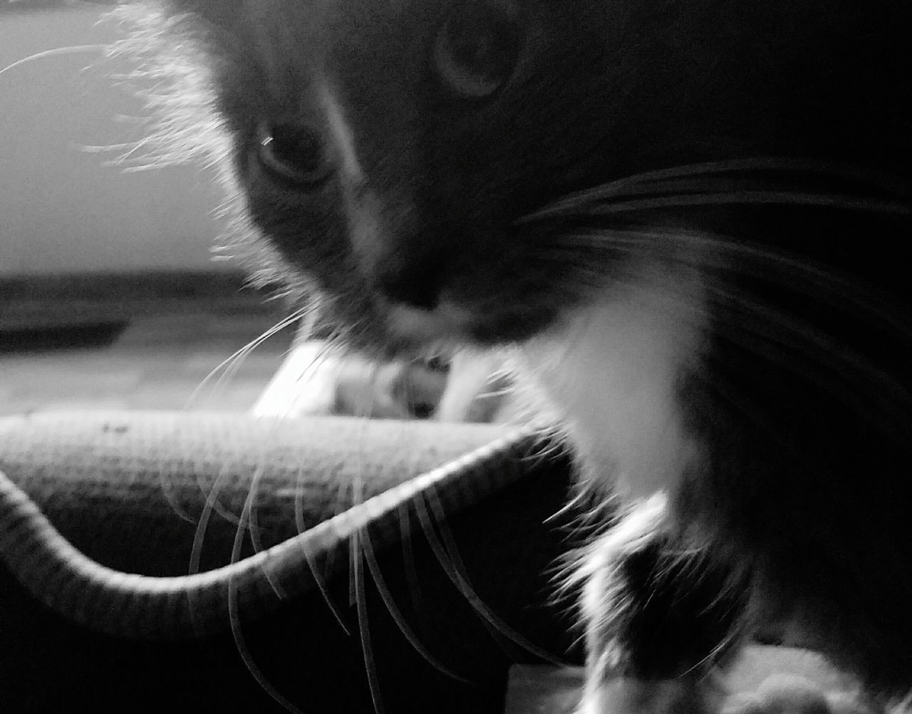 domestic cat, one animal, pets, domestic animals, animal themes, feline, mammal, cat, whisker, animal head, close-up, indoors, no people, day