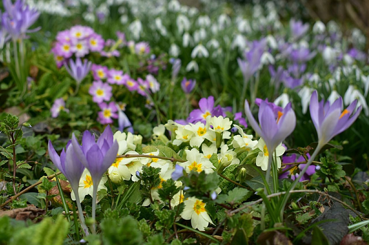 flower, petal, growth, fragility, purple, beauty in nature, freshness, nature, flower head, plant, blooming, crocus, day, field, outdoors, close-up, no people, springtime