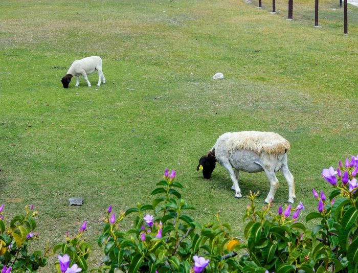 two goats eating grass on a flowered field Farm Grass Goat Sheep Lamb Grazing Flower Field Flock Of Sheep Grass Livestock Green Color Alpaca Peru Llama Pasture Herbivorous Pony Cattle Domestic Cattle Livestock Tag Farm Animal Grass Area