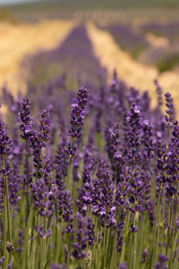 The beautiful fiends of lavender in the Provence area of France Lavender Lavender Rows Row Purple Flower Close-up Textured  Lines Provence France French Scented