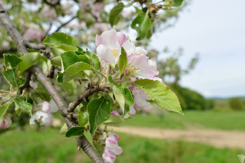 Flower tree Beauty In Nature Blooming Branch Close-up Day Flower Flower Head Focus On Foreground Fragility Freshness Green Color Growth Leaf Nature No People Outdoors Petal Plant Springtime Tree