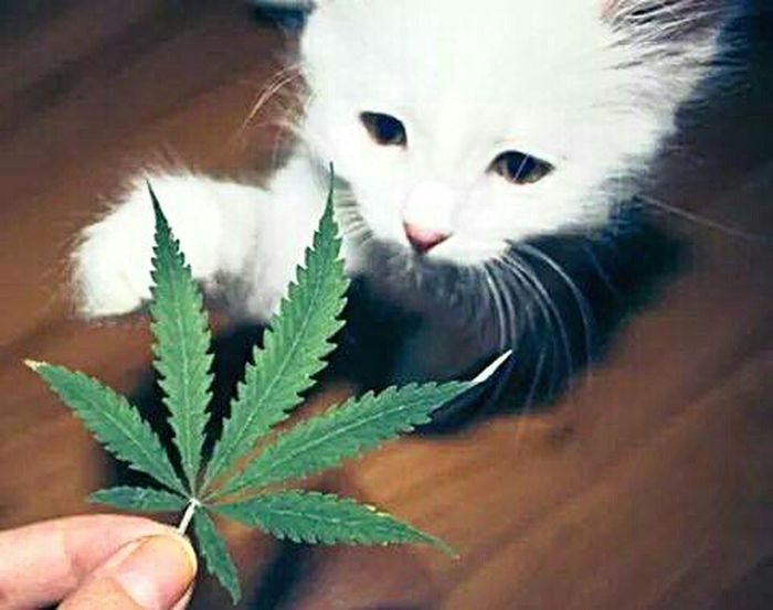 So cute. ? Canabis Smokeweedeveryday Meow🐱