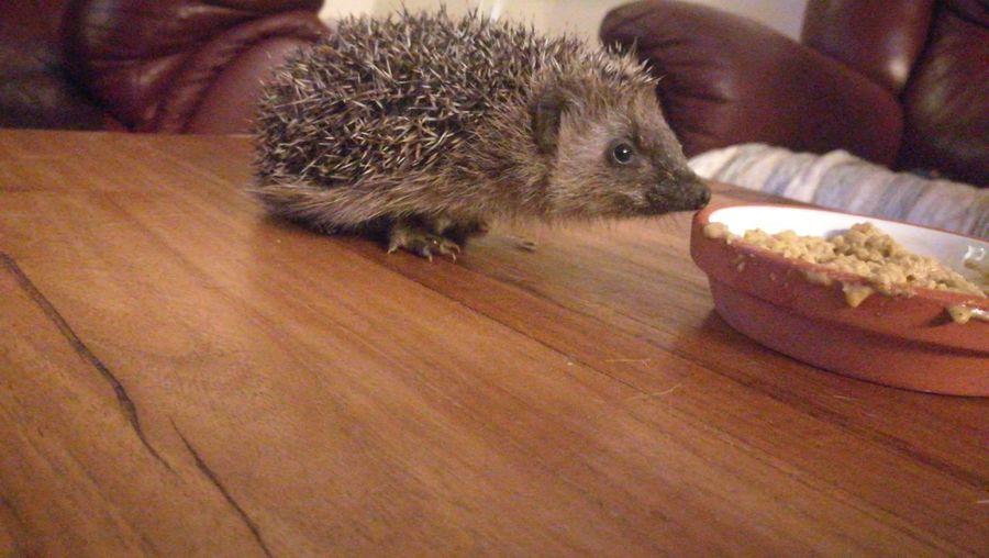 Hedgehog Hedgehog Table Animal Themes Close-up First Eyeem Photo