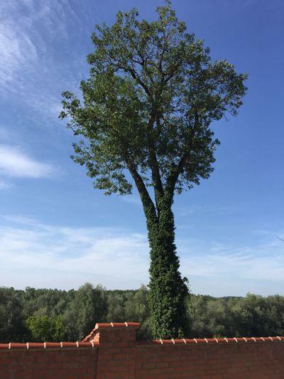 Tree Growth Sky No People Nature Architecture Day Outdoors Blue Sky Baum Baumstamm Himmel Und Wolken Mauer Blätter Grün Bäume Bäume Und Himmel Baumeln Für Immer