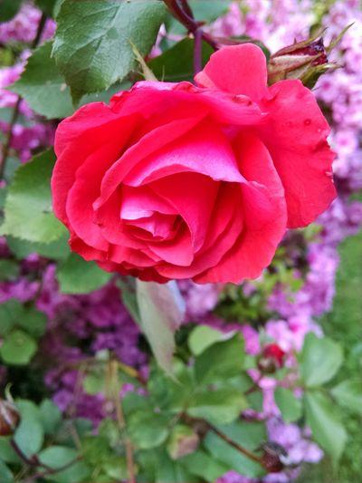Roses🌹 In Bloom ,grandma's Garden, Flowers