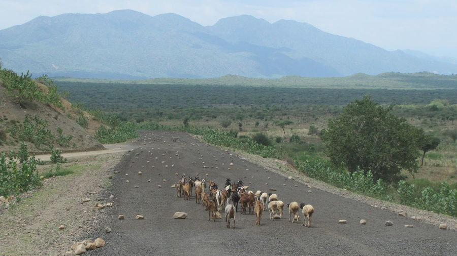 Herd of goat on an empty tar road