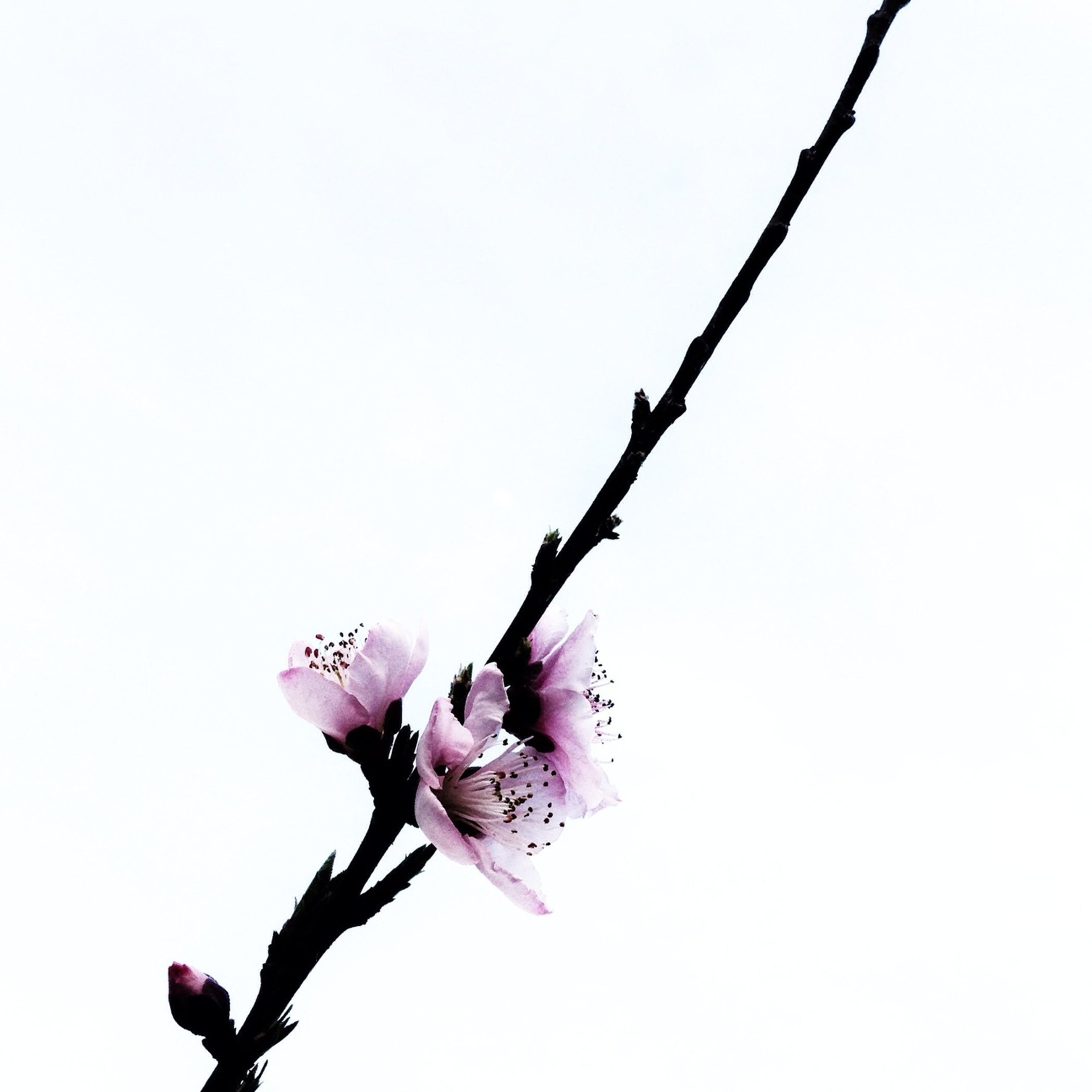flower, clear sky, fragility, low angle view, branch, copy space, freshness, beauty in nature, nature, pink color, growth, stem, petal, twig, white background, close-up, bud, no people, blossom, day