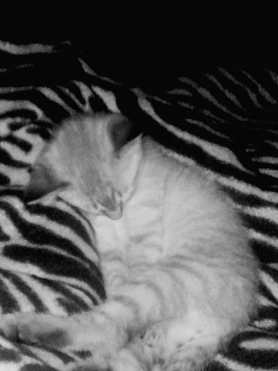 Kitten Kitten Love Kittens Of Eyeem Kittens Sleeping Kitten Sleeping Kittenlovers Zebra Zebra Print Zebra Stripes Zebra Blanket Black And White Black Photography White And Black Relaxing Taking Photos Check This Out Hanging Out So Cute