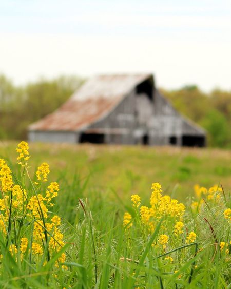 Missouri Tranquility Built Structure Architecture Field Day Flower No People Grass Growth Outdoors Building Exterior Plant Yellow Nature Landscape Sky Beauty In Nature Clear Sky