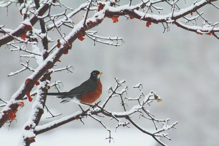Robin American Robin Bird Bird Photography Birds_collection Birds Of EyeEm  Birds_n_branches Tree Snow ❄ Snow Covered EyeEm Best Shots - Nature Ohio Winter Winter Trees Naturelovers Nature Photography Beautiful Nature Cold Outdoor Pictures Outside Nature Winter Landscape EyeEm Nature Lover Wildlife & Nature Wildlife