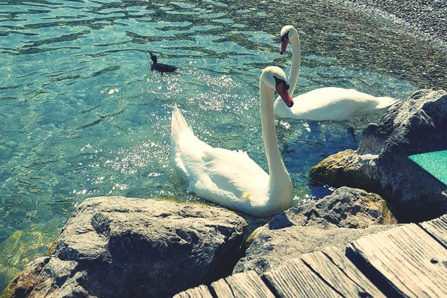 Animal Themes Animals In The Wild Wildlife Water Zoology Nature Tranquility Medium Group Of Animals Water Bird Beauty In Nature Lake Garda Beautiful Animals  Blue White Swans On The Lake