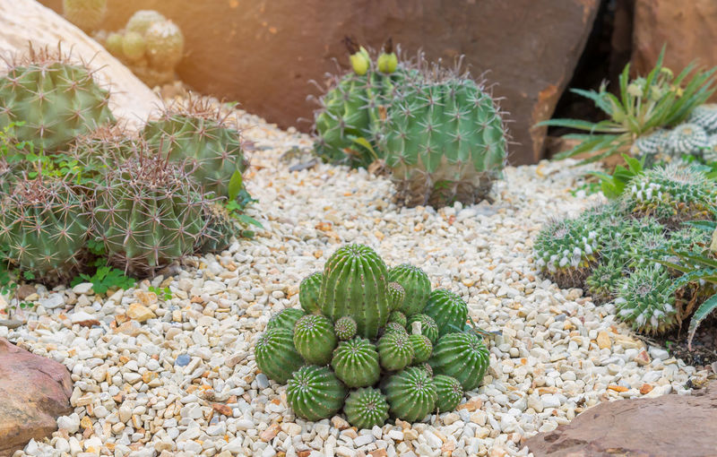 Succulent Plant Cactus Green Color Nature Plant Growth No People Day Beauty In Nature Spiked Food And Drink High Angle View Outdoors Thorn Land Barrel Cactus Food Freshness Healthy Eating Field