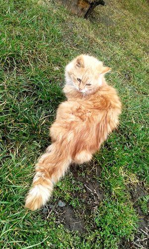 Charly ☺🐱🐈 Orange Color Orange Cat Limited # Orange #kitten #mycat Ilovemycat # Animal # My Photo Orange Pets Feline Domestic Cat High Angle View Field Grass Green Color