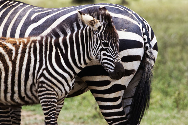 Close-up portrait of zebra standing on grass