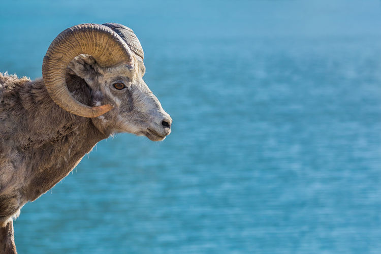 Bighorn Sheep - Ovis canadensis, profile closup of a male ram. Background is bokeh of a glacial lake Mammal One Animal Animal Animal Themes Animal Wildlife Vertebrate Water No People Day Animals In The Wild Nature Portrait Animal Body Part Animal Head  Herbivorous