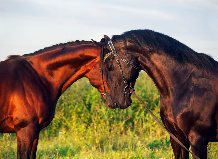 two beautiful sportive stallion Mammal Animal Domestic Animals Livestock Animal Themes Horse Animal Wildlife Domestic Vertebrate Pets Group Of Animals Two Animals Land Focus On Foreground Field Day Nature Brown Sky No People Herbivorous Outdoors Animal Family Ranch