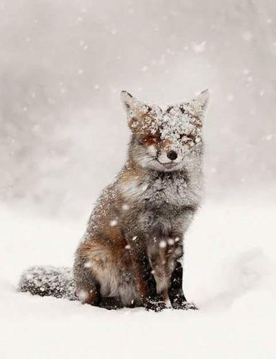Beautiful. Animal . Fox