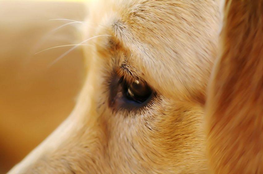 dog, eye, Golden Retriever My Dogs I Love My Dog Pentax