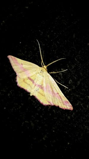 Close-up No People Nature Moth Beauty In Nature Pink Stripes Yellowish Pink Flying Insect Itty Bitty Critter Insect Bug