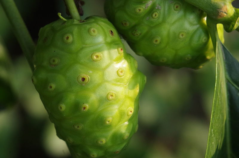 Green Color Close-up Growth Plant No People Day Focus On Foreground Beauty In Nature Healthy Eating Fruit Nature Cactus Food And Drink Succulent Plant Food Outdoors Freshness Prickly Pear Cactus Water Natural Pattern Indian Mulberry Beach Mulberry Great Morinda