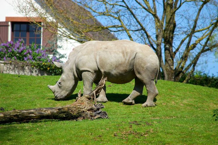 One Animal Grass Animal Wildlife Animals In The Wild No People Nature Animal Themes Animal Animals In The Wild Zoo Zoophotography Zoo De Beauval Rhinoceros Rinoceros Grass Nature à Beauval