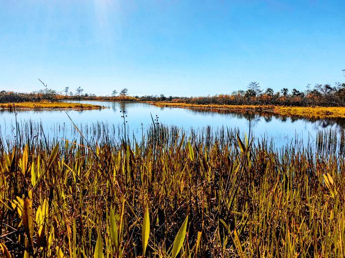 Swamp grass on the Loxahatchee River Autumn Autumn Colors Autumn Leaves Grass Louisiana Loxahatchee Wildlife Refuge Marsh Nature Reserve Swamp Weather Wetland Bayou Flor Grassland Landscape Loxahatchee River River Riverbank