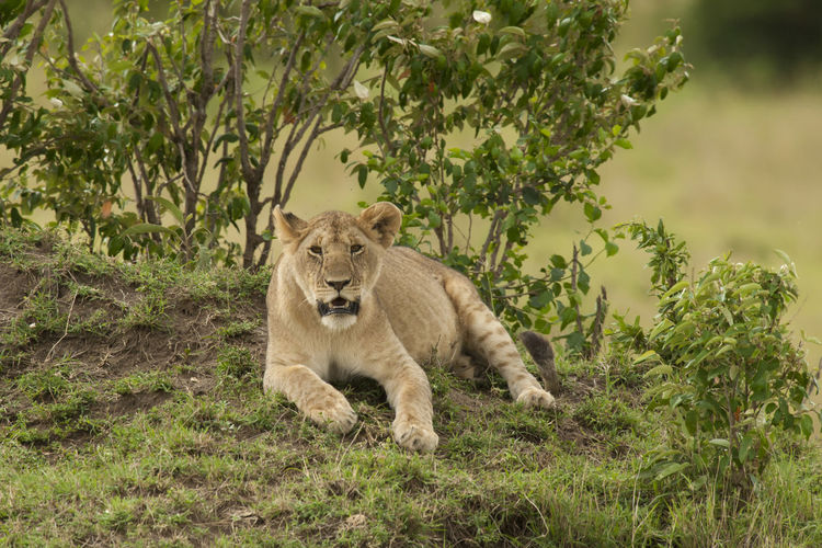 Lioness sitting by plants on land