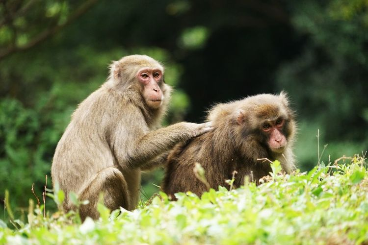 Japanese Macaques Sitting On Field