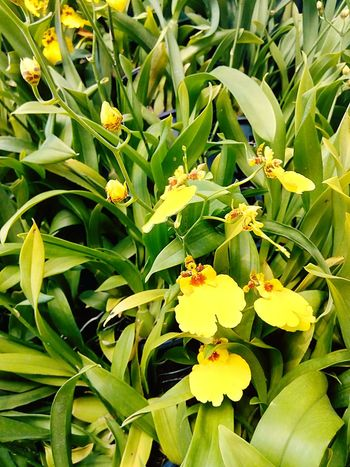 Orchid Orchid Flower Orchid On Tree Orchids Collection Flower On The Tree Flower Collection Yellow Orchid Yellow Flower Flower Ornamental Plant Plant On Tree Orchid Photography Flower Photography Nature Beauty Of Flower Beautiful Flower Orchid Collection Flower Color Orchid Colours Nature Photography Beauty Of Nature Close Up Close Up Photography Close Up Flower