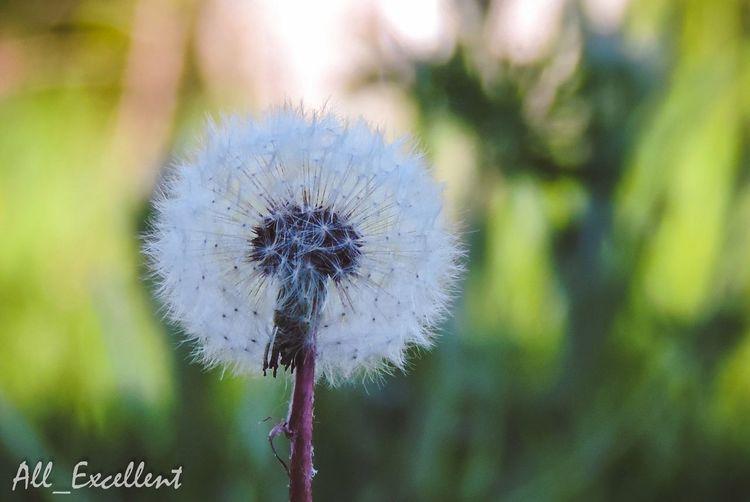 Dendelion Grass