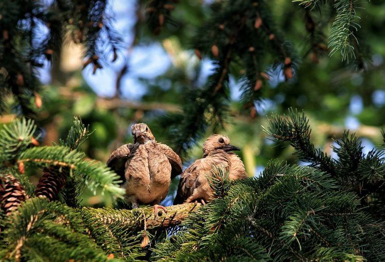 Birds perching on pine tree